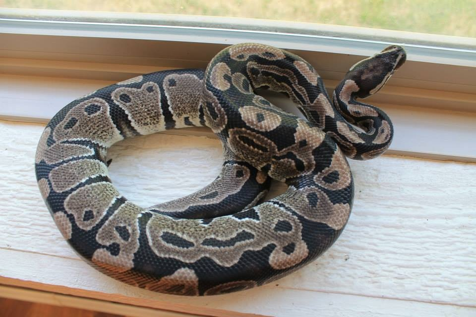 VPI axanthic ball python