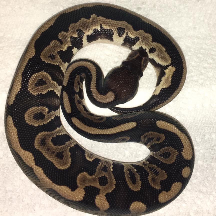 cinnamon leopard axanthic ball python