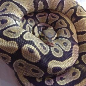 hypo ball python