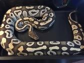 mojave ball python