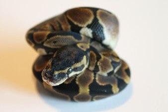 Classic ball python