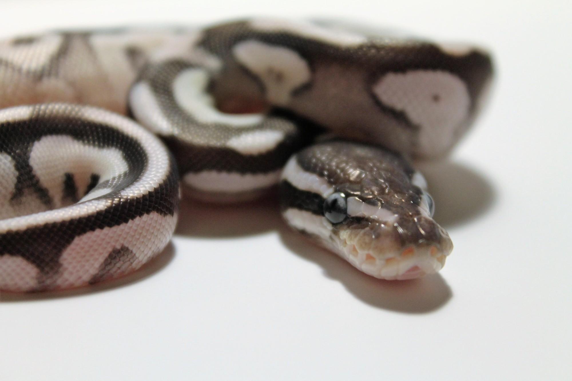 VPI Axanthic Mojave ball python