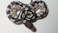 VPI Axanthic Mojave Fire (A World of Ball Python's World's First)