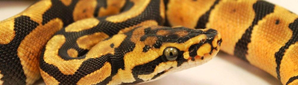 Spotnose joppa ball python