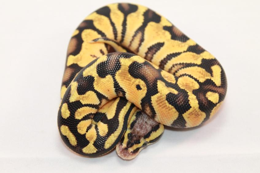 pastel het clown ball python