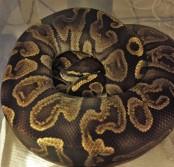GHI ball python
