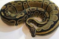 het pied ball python