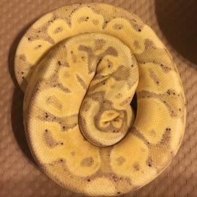 Banana het Pied