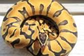 pastel enchi ball python