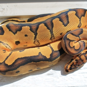 clown ball python