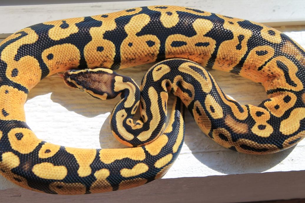 Pastel vanilla ball python