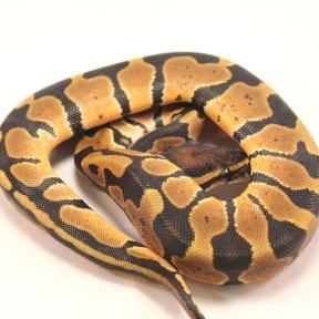 joppa ball python