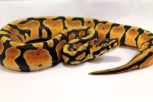 joppa spotnose ball python