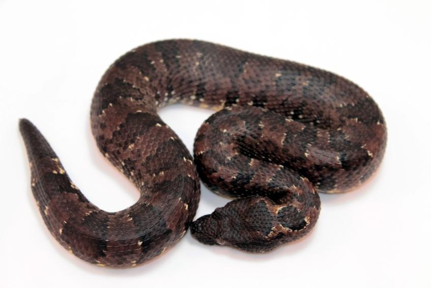 Black viper boa