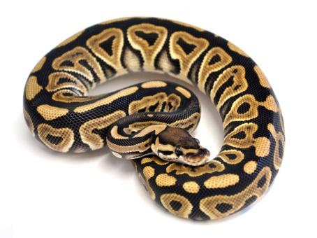 Joppa Black Pastel (Renick Reptiles)