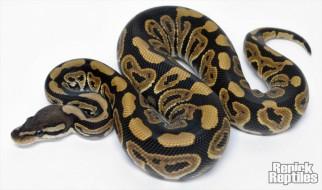 Black pastel (Renick Reptiles)