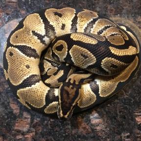 2016 Double Het Hypo Clown